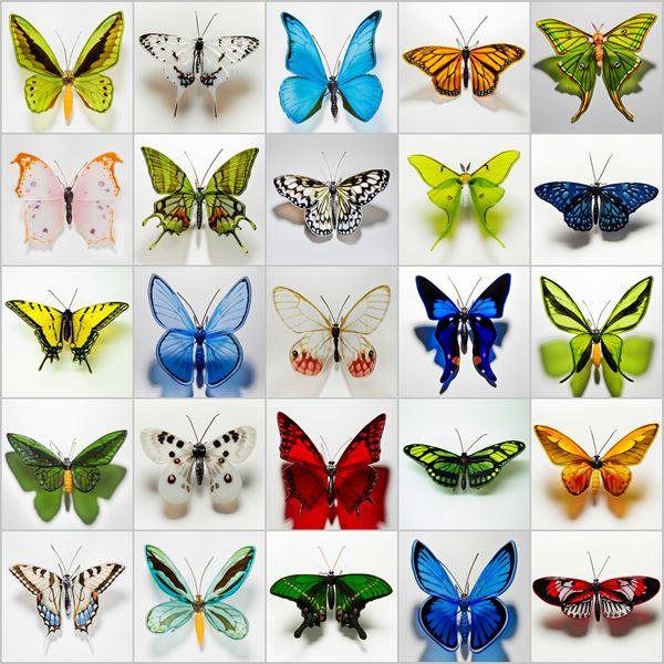 Krishna Peacock Butterfly